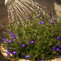 how much to water plants in pots