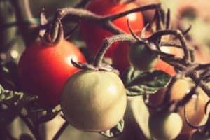tomato example