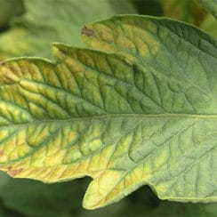 Potassium Deficiency Nutrient Burn