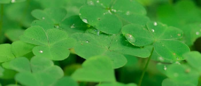 Clover microgreens a healthy alternative