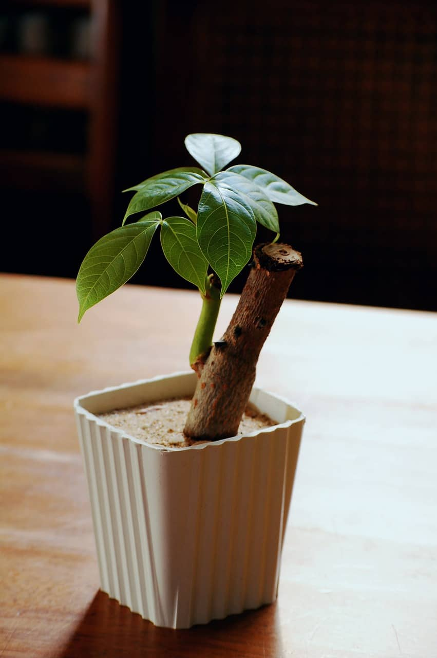 A photo of a money tree plant that has been recently pruned.