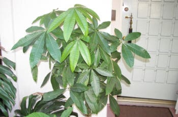 A picture of a indoor money tree inside someones