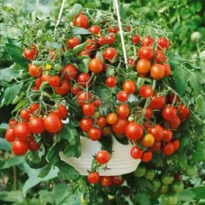 A tumbling tumbler tom tomatoe plant