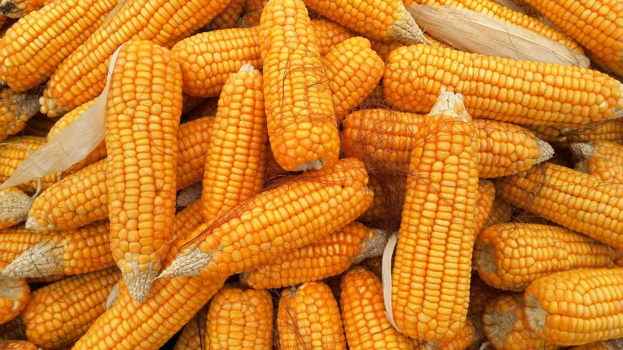 corn 1726017 1280