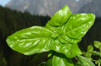 Growing Basil in winter