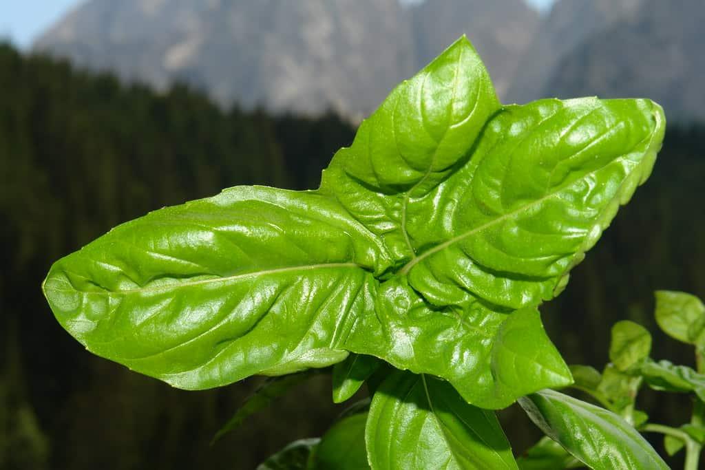 Growing Basil in winter