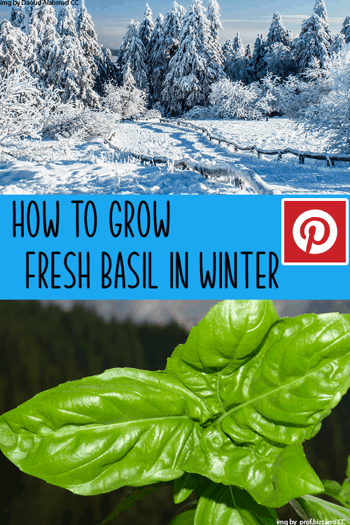 How to grow basil in winter pin this image