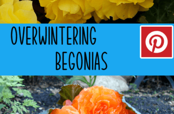 Overwintering Begonia