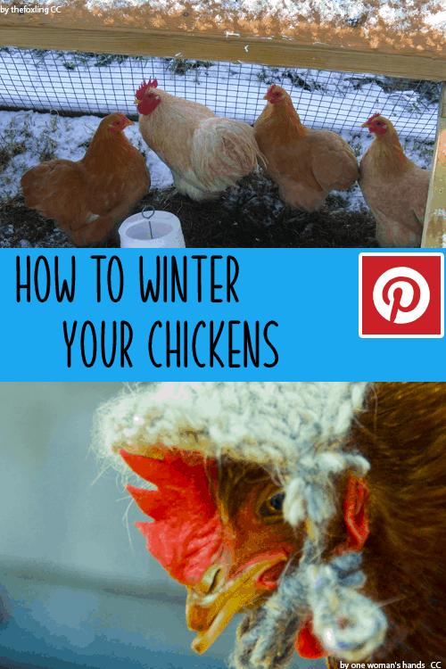 Wintering Chickens