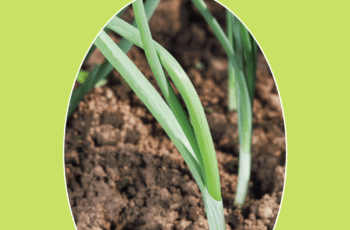 How to Grow Scallions 1
