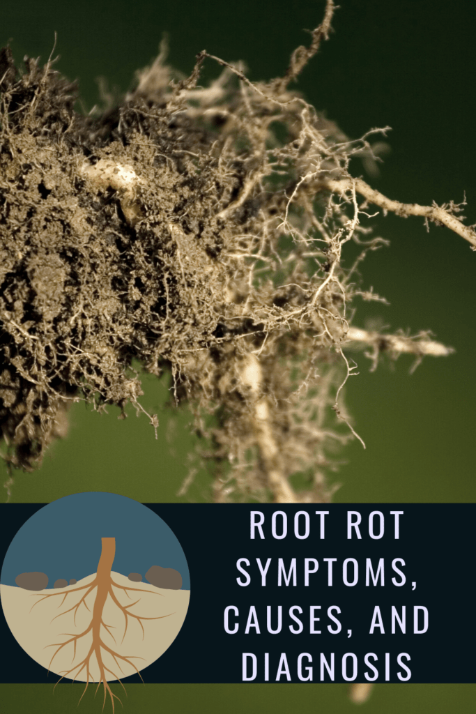 root rot symptoms