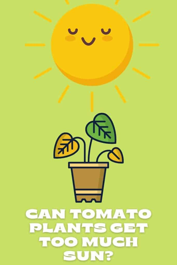 Can Tomato Plants Get Too Much Sun
