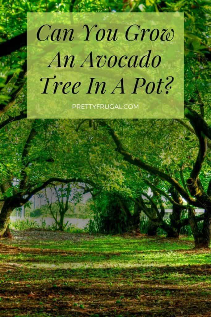 Can You Grow An Avocado Tree In A Pot 1