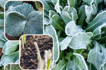 Plant Covers For Frost Protection